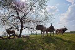 Cattle in Hungary