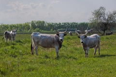 Hungarian Grey Cattle on the Meadow